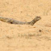 Jaszczurka 2