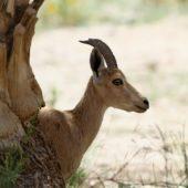 Koziorozec nubijski,Nubian ibex, Capra nubiana, Ein Gedi, Izrael, 09.04.2014 (Israel)
