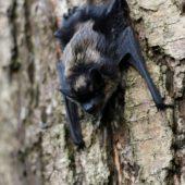 Mroczek pozłocisty, Northern Bat, Eptesicus nilssonii, Dąbrowa Górnicza, SLK, 04.07.2016 (Polska, Poland)