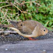 Gołębiak karoliński, Mourning Dove, Zenaida macroura, Corvo, Azory, Portugalia, 16.10.2013 (1) (Azores, Portugal)