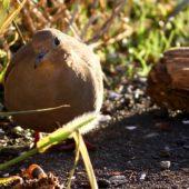 Gołębiak karoliński, Mourning Dove, Zenaida macroura, Corvo, Azory, Portugalia, 16.10.2013 (2) (Azores, Portugal)