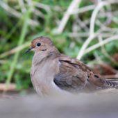 Gołębiak karoliński, Mourning Dove, Zenaida macroura, Corvo, Azory, Portugalia, 16.10.2013 (3) (Azores, Portugal)