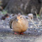 Gołębiak karoliński, Mourning Dove, Zenaida macroura, Corvo, Azory, Portugalia, 16.10.2013 (4) (Azores, Portugal)
