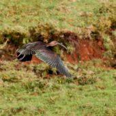 Ibis kasztnowaty, Glossy Ibis, Plegadis falcinellus, Corvo, Azory, Portugalia, 17.10.2013 (3) (Azores, Portugal)