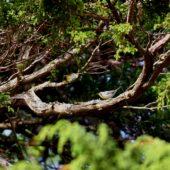 Lasówka szarogrzbieta, Yellow-thraoted Warbler, Dendroica dominica, Corvo, Azory, Portugalia, 16.10.2013 (Azores, Portugal)