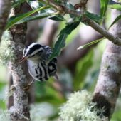 Pstroszka, Black-and-white Warbler, Mniotilta varia, 11.10.2013 (1) (Azores, Portugal)