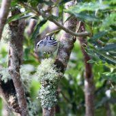 Pstroszka, Black-and-white Warbler, Mniotilta varia, 11.10.2013 (2) (Azores, Portugal)