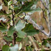 Paswka biaobrewa, White-crowned Sparrow, Zonotrichia leucophrys, Corvo, Ayorz, Portugalia, 22.10.2013 (Azores, Portugal)