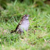 Pasówka białogardła, White-throated Sparrow, Zonotrichia albicollis, Corvo, Azory, Portugalia, 16.10.2013 (2) (Azores, Portugal)
