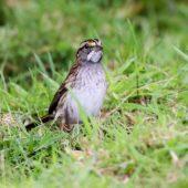 Pasówka białogardła, White-throated Sparrow, Zonotrichia albicollis, Corvo, Azory, Portugalia, 16.10.2013 (1) (Azores, Portugal)