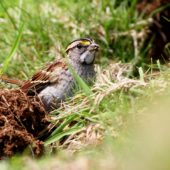 Pasówka białogardła, White-throated Sparrow, Zonotrichia albicollis, Corvo, Azory, Portugalia, 16.10.2013 (3) (Azores, Portugal)