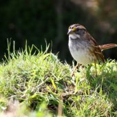 Pasówka białogardła, White-throated Sparrow, Zonotrichia albicollis, Corvo, Azory, Portugalia, 16.10.2013 (4) (Azores, Portugal)