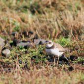 Sieweczka skąpopłetwa, Semipalmated Plover, Charadrius semipalmatus, Corvo, Azory, Portugalia, 10.10.2013 (1) (Azores, Portugal)