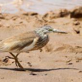 Czapla modronosa, Squacco Heron, Ardeola ralloides, Eilat, Izrael, 10.04.2014 (1) (Israel)