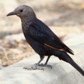 Czarnotek arabski, Tristram's Starling, Onychognathus tristramii, Ein Gedi, Izrael, 09.04.2014 (Israel)
