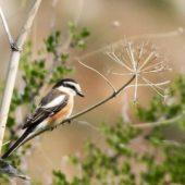 Dzierzba białoczelna, Masked Shrike, Lanius nubicus, Wadi Mishmar, Izrael, 11.04.2014 (Israel)