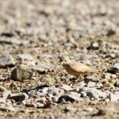 Skowronik piaskowy, Desert Lark, Ammomanes deserti, Wadi Mishmar, Izrael, 11.04.2014 (Israel)