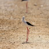 Szczudłak, Black-winged Stilt, Himantopus himantopus, Nitsana, Izrael, 11.04.2014 (Israel)
