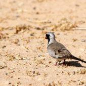 Turkaweczka czarnogardła, Namaqua Dove, Oena capensis, Yotvata, Izrael, 10.04.2014 (Israel)