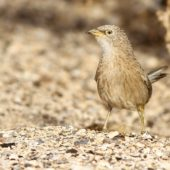 Tymal arabski, Arabian Babbler, Turdoides squamiceps, Ein Gedi, Izrael, 09.04.2014 (4) (Israel)