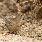 Tymal arabski, Arabian Babbler, Turdoides squamiceps, Ein Gedi, Izrael, 09.04.2014 (5) (Israel)