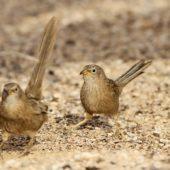 Tymal arabski, Arabian Babbler, Turdoides squamiceps, Ein Gedi, Izrael, 09.04.2014 (6) (Israel)