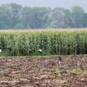 Czajka towarzyska, Sociable Lapwing, Vanellus gregarius, Bojanów, SLK, 22.09.2014 (2) (Poland)