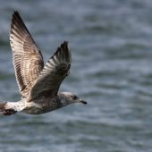 Mewa srebrzysta, Herring Gull, Larus argentatus, Hel, POM, 04.03.2012 (6)