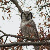 Sowa jarzębata, Hawk Owl, Surnia ulula, Pniewo, MAZ,  05.11.2013 (2) (Polska, Poland)