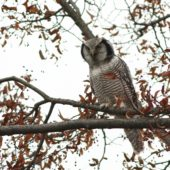 Sowa jarzębata, Hawk Owl, Surnia ulula, Pniewo, MAZ,  05.11.2013 (1) (Polska, Poland)