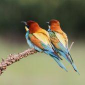 Żołna, Bee-eater, Merops apiaster, Świerklaniec, SLK, 21.05.2013 (3) (Polska, Poland)
