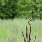 Żołna, Bee-eater, Merops apiaster, Świerklaniec, SLK, 21.05.2013 (1) (Polska, Poland)