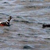 Kamieniuszka, Harlequin Duck, Histrionicus histrionicus, Islandia, 15.01.2015 (Iceland)