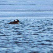 Kapturnik, Hooded Merganser, Lophodytes cucullatus, Islandia, 14.01.2015 (Iceland)
