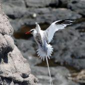 Faeton białosterny, Red-billed Tropicbird, Phaeton aethereus, Praia Cliffs, Saot Tiago, Wyspy Zielonego Przylądka, 20.02.2015 (7) (Cape Verde)