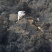 Faeton białosterny, Red-billed Tropicbird, Phaeton aethereus, Praia Cliffs, Saot Tiago, Wyspy Zielonego Przylądka, 20.02.2015 (8) (Cape Verde)
