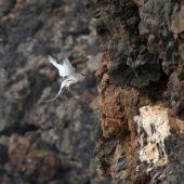 Faeton białosterny, Red-billed Tropicbird, Phaeton aethereus, Praia Cliffs, Saot Tiago, Wyspy Zielonego Przylądka, 20.02.2015 (10) (Cape Verde)