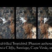 Faeton białosterny, Red-billed Tropicbird, Phaeton aethereus, Praia Cliffs, Saot Tiago, Wyspy Zielonego Przylądka, 20.02.2015 (11) (Cape Verde)