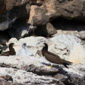 Głuptak białobrzuchy, Brown Booby, Sula Leucogaster, Raso, Wyspy Zielonego Przylądka, 24.02.2015 (5) (Cape Verde)