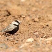 Pustynka białoczelna, Black-crowned Sparrow-lark, Eremopterix nigriceps, Boa Vista, Wyspy Zielonego Przylądka, 22.02.2015 (2) (Cape Verde)