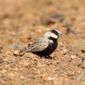 Pustynka białoczelna, Black-crowned Sparrow-lark, Eremopterix nigriceps, Boa Vista, Wyspy Zielonego Przylądka, 22.02.2015 (3) (Cape Verde)