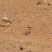 Skowron pustynny, Hoopoe Lark, Alaemon alaudipes boavistae, Boa Vista, Wyspy Zielonego Przylądka, 22.02.2015 (2) (Cape Verde)