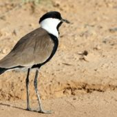 Czajka szponiasta, Spur-winged Plover, Hoplopterus spinosus, Eilat, Izrael, 28.04.2015 (3) (Israel)