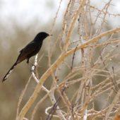 Drozdówka czarna, Black Scurb Robin, Cercotrichas podobe, Yotvata, Izrael, 29.04.2015 (2) (Israel)