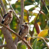 Majna birmańska, Vinous-breasted Starling, Acridotheres burmannicus, Tel Aviv, Izrael, 27.04.2015 (Israel)