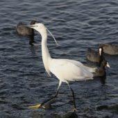 Czapla nadobna, Little Egret, Egretta garzetta, Eilat, Izrael, 28.04.2015 (2) (Israel)