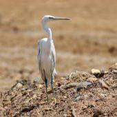 Czapla rafowa, Reef Heron, Egretta gularis, Eilat, Izrael, 28.04.2015 28.04.2015 (Israel)