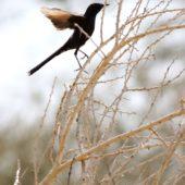 Drozdówka czarna, Black Scurb Robin, Cercotrichas podobe, Yotvata, Izrael, 29.04.2015 (3) (Israel)
