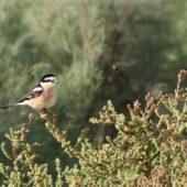 dzierzba Dzierzba białoczelna, Masked Shrike, Lanius nubicus, Eilat, Izrael, 28.04.2015 (2)bialoczelna 28042015 3 (Israel)