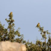 Kulczyk syryjski, Syrian Serin, Serinus syriacus, Góra Hermon, Izrael, 27.04.2015 (2) (Mt Hermon, Israel)